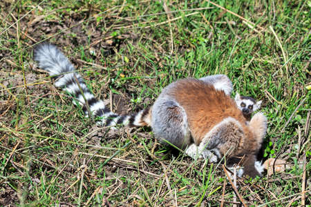 Ring-tailed Lemur (Lemur catta) with baby in Anja reserve national park in Madagascar Stock Photo