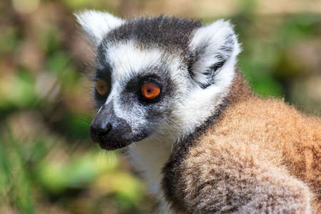Ring-tailed Lemur (Lemur catta) in Anja reserve national park in Madagascar photo