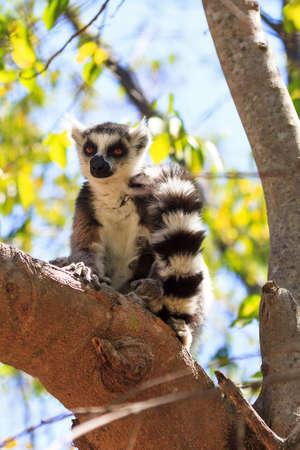 Ring-tailed Lemur (Lemur catta) in Anja reserve national park in Madagascar Stock Photo