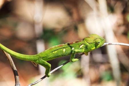 anja: Beautiful camouflaged chameleon in Madagascar, presumably the Oustalet\ Stock Photo
