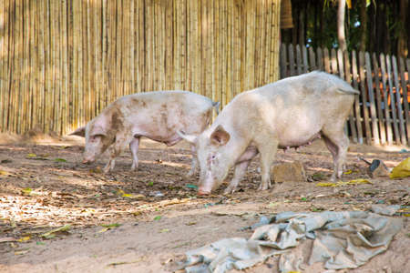 sus: Two domestic pigs (sus scrofa) in a village in Madagascar