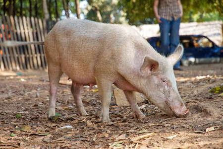 scrofa: Domestic pig (Sus scrofa) in Madagascar