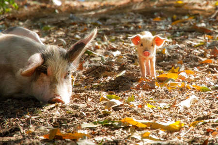 sus: Cute piglet and sow (sus scrofa) in the morning sun in Madagascar