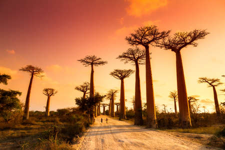 Beautiful Baobab trees at sunset at the avenue of the baobabs in Madagascar 에디토리얼