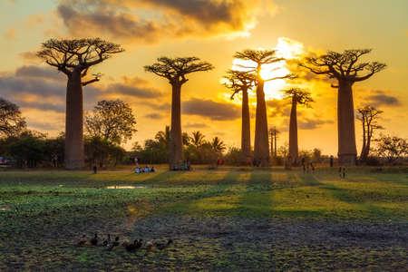 paisagem: Árvores bonitas Baobab no por do sol na avenida dos baobás em Madagascar Imagens