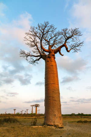 adansonia: Beautiful Baobab trees at sunset at the avenue of the baobabs in Madagascar Stock Photo