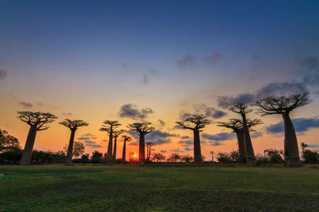 alley of the baobabs: Beautiful Baobab trees at sunset at the avenue of the baobabs in Madagascar Stock Photo