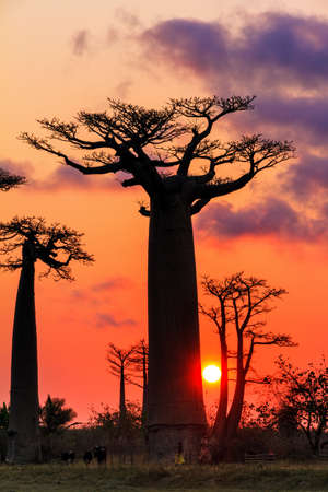 alley of baobabs: Beautiful Baobab trees at sunset at the avenue of the baobabs in Madagascar Stock Photo