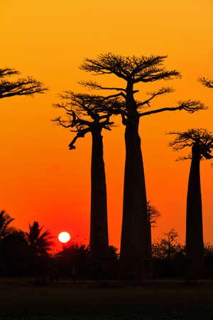 마다가스카르에서 baobabs의 애비뉴에서 석양 아름 다운 바오 바 브 나무 나무 스톡 콘텐츠