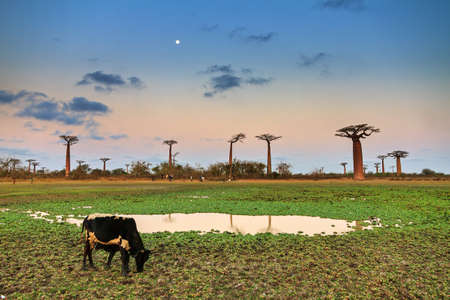 Zebu grazing just after sunset with the moon in the sky at the avenue of the Baobabs in Madagascar