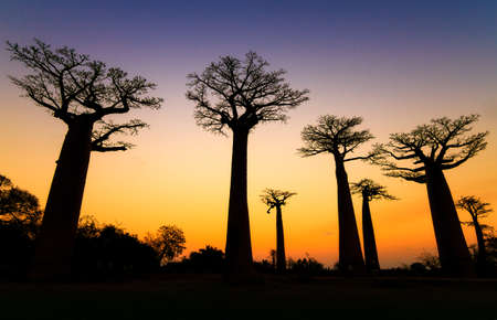 alley of baobabs: Beautiful Baobab trees after sunset at the avenue of the baobabs in Madagascar Stock Photo