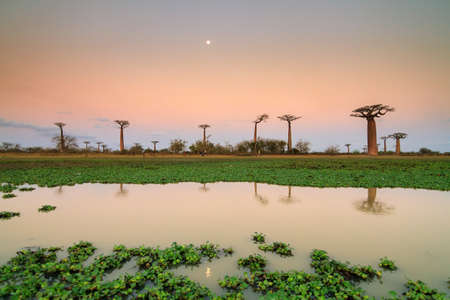 Beautiful Baobab trees and the moon after sunset, reflected in the pond at the avenue of the baobabs in Madagascar