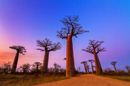 Beautiful Baobab trees after sunset at the avenue of the baobabs in Madagascar Stock Photo