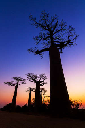 adansonia: Beautiful Baobab trees after sunset at the avenue of the baobabs in Madagascar Stock Photo