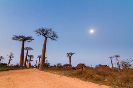 alley of the baobabs: Beautiful Baobab trees and the moon after sunset at the avenue of the baobabs in Madagascar