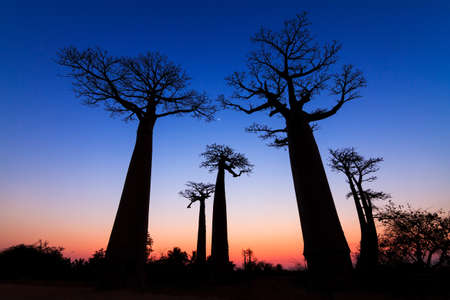 alley of the baobabs: Beautiful Baobab trees after sunset at the avenue of the baobabs in Madagascar Stock Photo