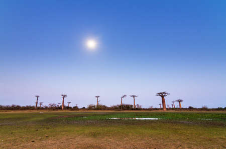 Beautiful Baobab trees and the moon after sunset at the avenue of the baobabs in Madagascar