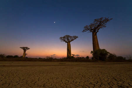 adansonia: Beautiful moonlit Baobab trees at night in Madagascar with a lot of stars and a cracked clay dry ground Stock Photo