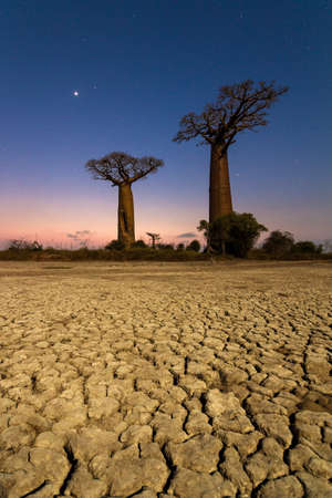 alley of baobabs: Beautiful moonlit Baobab trees at night in Madagascar with a lot of stars and a cracked clay dry ground Stock Photo