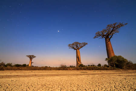 alley of the baobabs: Beautiful moonlit Baobab trees at night in Madagascar with a lot of stars and a cracked clay dry ground Stock Photo