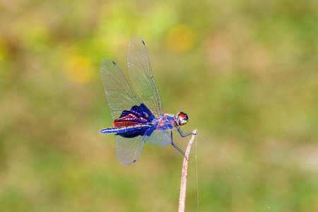 dragonfly: Beautiful dragonfly with amazing colors, presumably the Phantom Flutterer (Rhyothemis semihyalina) in Maroantsetra, Madagascar Stock Photo