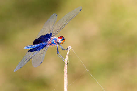 phantom: Beautiful dragonfly with amazing colors, presumably the Phantom Flutterer (Rhyothemis semihyalina) in Maroantsetra, Madagascar Stock Photo