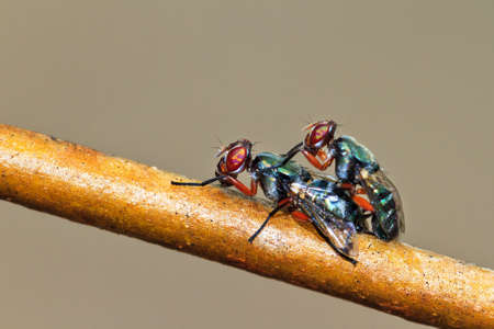 Two vibrant colored Malagasy flies (unknown species) mating in summer photo