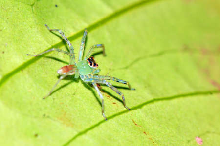 salticidae: Green translucent jumping spider (species unknown, family Salticidae, maybe Lyssomanes) in the rainforest of Masoala National Park in Madagascar