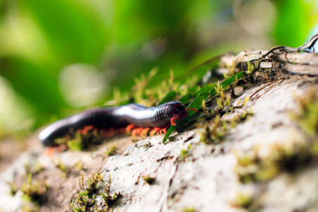 pres: Madagascan Fire Millipede (pres. Aphistogoniulus Corallipes) in the rainforest of Masoala National Park in Madagascar