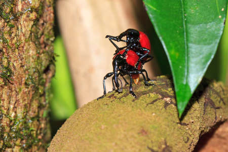 pres: Madagascar weevil (pres. Cybebus dimidiatus, family Apionidae) on Tambourissa in the rainforest jungle of the Masoala National Park in Madagascar Stock Photo