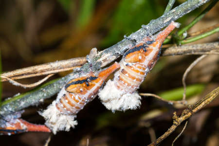 pres: Some sort of Malagasy Lantern bug (pres. Zanna Madagascariensis) in Masoala, Madagascar