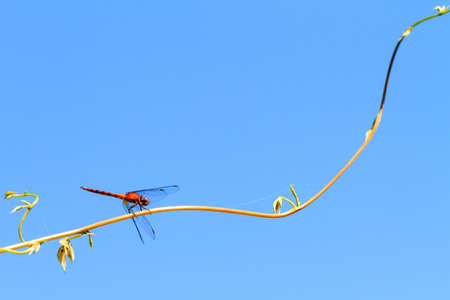 dropwing: Beautiful dragonfly, pres. the Orange-winged dropwing (Trithemis kirbyi) in Masoala national park, Madagascar