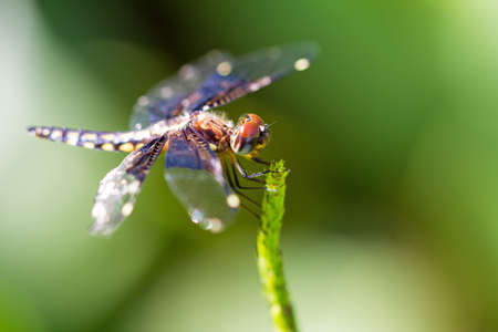 pres: Pres. Widow Dragonfly (Palpopleura portia) in the forest of Masoala, Madagascar Stock Photo