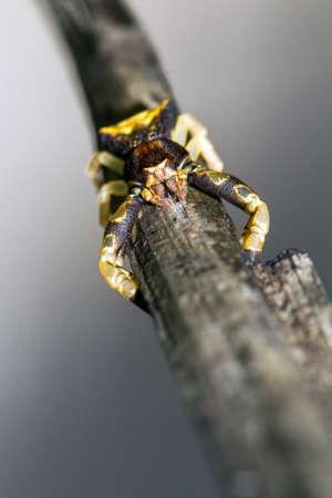 thomisidae: Some sort of yellow brown crab spider (family Thomisidae) in Masoala, Madagascar Stock Photo