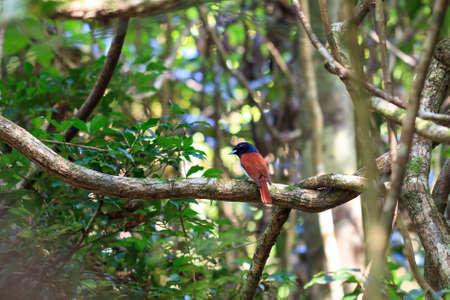 rufa: Small bird in the jungle of Masoala, Madagascar, what looks like the Rufous vanga (Schetba rufa) Stock Photo