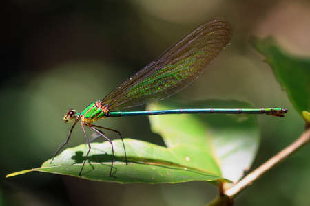 pres: Beautiful big damselfly in the jungle of Masoala, Madagascar. Pres. Phaon iridipennis, commonly known as the Glistening Demoiselle Stock Photo