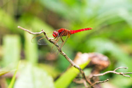 crocothemis: Beautiful red dragonfly pres. the Scarlet dragonfly Crocothemis erythraea in Masoala national park Madagascar