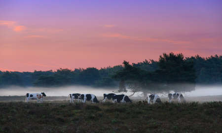 veluwe: Beautiful sunrise in National park De Hoge Veluwe in the Netherlands with grazing cows