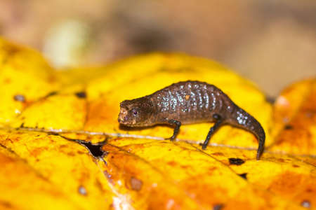 pres: Tiny Chameleon pres. Peyrieras pygmy chameleon Brookesia peyrierasi on the island of Nosy Mangabe part of the Masoala National Park