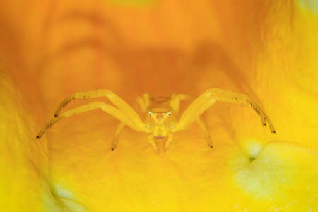 thomisidae: Yellow crab spider genus Thomisus with a triangular face in a yellow flower in Madagascar