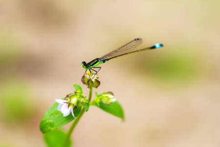 pres: Beautiful Damselfly pres. Pseudagrion apicale in Maraontsetra Madagascar Stock Photo
