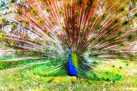 pavo cristatus: Beautiful vibrant Indian peafowl or blue peafowl Pavo cristatus