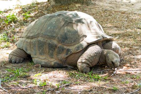 gigantea: The Aldabra giant tortoise Aldabrachelys gigantea Stock Photo