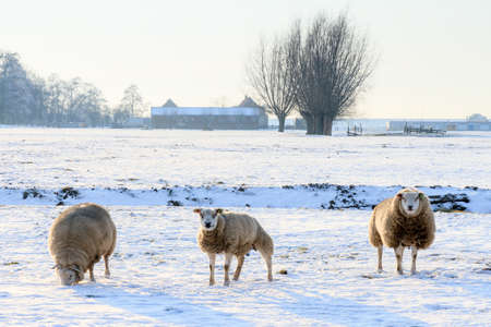 ovis: Sheep Ovis aries in snow white winter landscape at sunset in the Netherlands