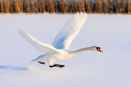 Beautiful swan Cygnus olor takes off from the snowy ice in winter in the Netherlands photo