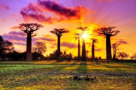 Hermosos árboles baobab al atardecer en la avenida de los baobabs en Madagascar Foto de archivo
