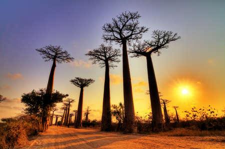 naranja arbol: Hermosos �rboles baobab al atardecer en la avenida de los baobabs en Madagascar Foto de archivo