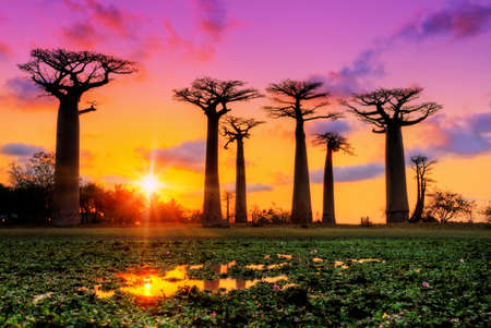 マダガスカルのバオバブの並木道で夕暮れ時の美しいバオバブの木
