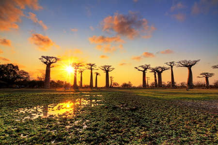africa baobab tree: Beautiful Baobab trees at sunset at the avenue of the baobabs in Madagascar Stock Photo
