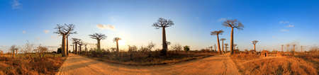 alley of baobabs: Beautiful 360 degree panorama at sunset at the avenue of the baobabs in Madagascar